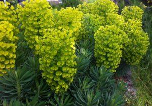 Euphorbia characiasssp.wulfenii
