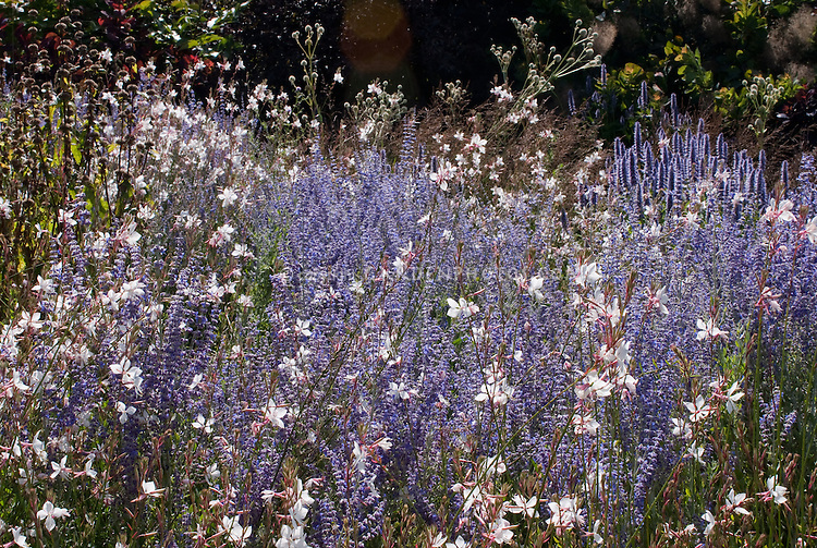 Perovskia and Gaura Whirling Butterflies