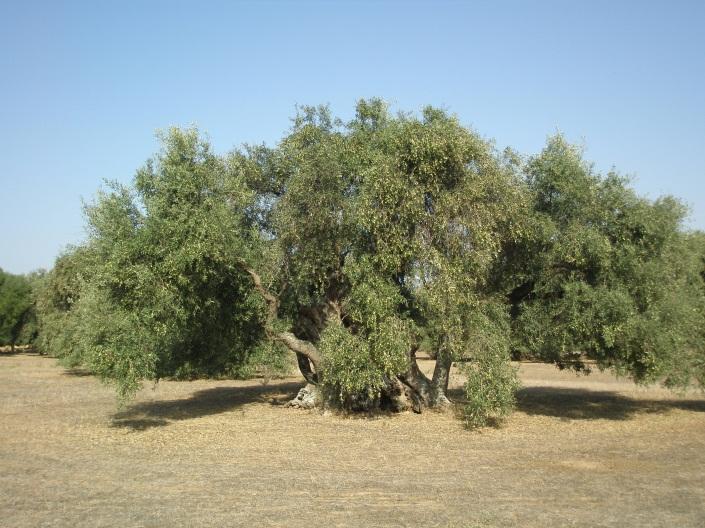 Come potare un Olivo: Stefano Assogna