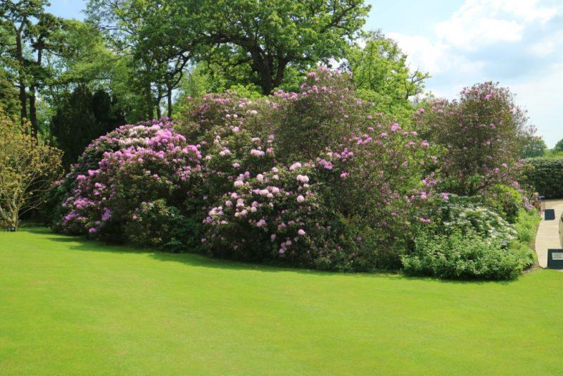 fioriture di aitanti rododendri